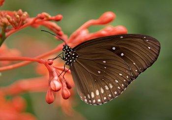 عکس زمینه پروانه قهوه ای روی گل قرمز