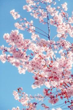 عکس زمینه درخت شکوفه ساکورا