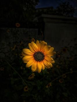 عکس زمینه آفتابگردان زرد