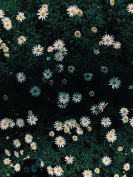 عکس زمینه باغ گل دیزی