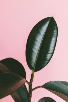 عکس زمینه برگ لاستیکی سبز