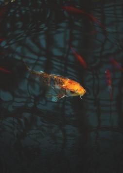 عکس زمینه ماهی کوی نارنجی
