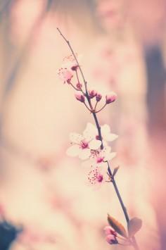 عکس زمینه شکوفه گیلاس