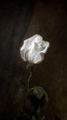 عکس زمینه رز سفید