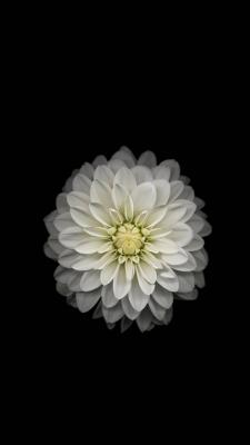عکس زمینه گل سفید آیفون 6 پلاس