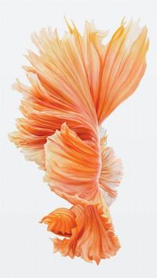 عکس زمینه ماهی نارنجی آیفون 6S
