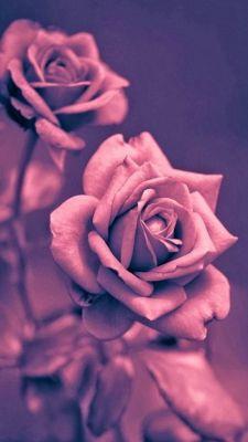 عکس زمینه گل رز صورتی دخترانه