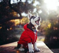 عکس زمینه سگ هاسکی با لباس
