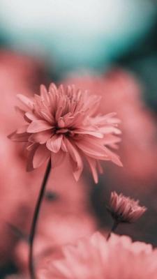 عکس زمینه گل صورتی زیبا با کیفیت