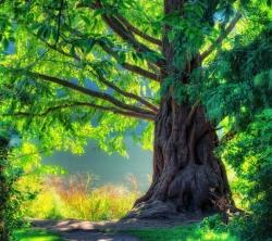عکس زمینه درخت تنومند در طبیعت سبز
