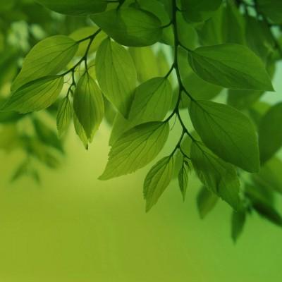 عکس زمینه برگ سبز شاداب