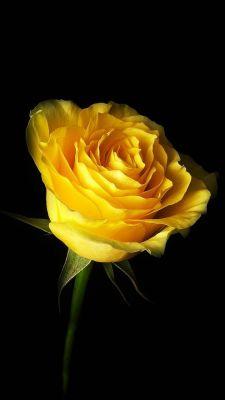 عکس زمینه گل رز زرد