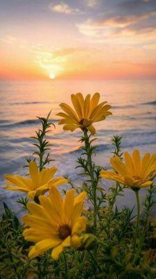 عکس زمینه گل های زرد و غروب دریا
