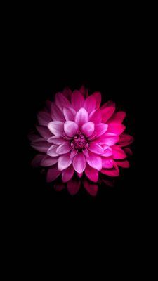 عکس زمینه گل صورتی بکگراند مشکی