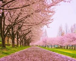 عکس زمینه شکوفه های بهاری درختان گیلاس