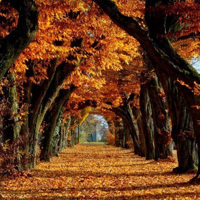 عکس زمینه برگ ریزان پاییز طلایی