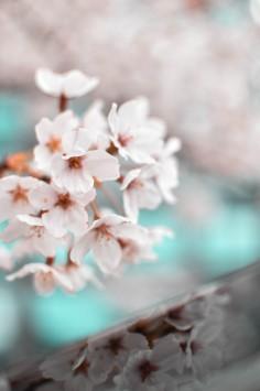 عکس زمینه شکوفه گل بهاری سفید