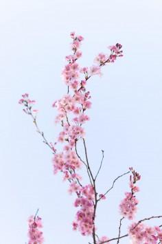 عکس زمینه گل صورتی روی شاخه زیبا