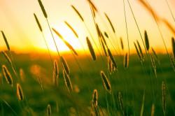 عکس زمینه گندم زار در هنگام غروب آفتاب