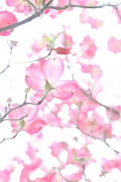 عکس زمینه شکوفه های گیلاس زیبا
