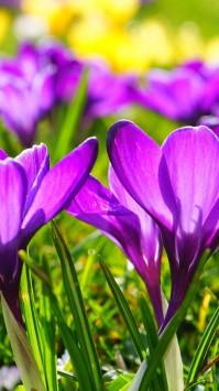 عکس زمینه گل بنفشه زیبا در نور