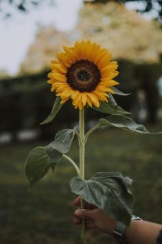 عکس زمینه گل آفتابگردان زرد زیبا