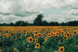 عکس زمینه مزرعه آفتابگردان