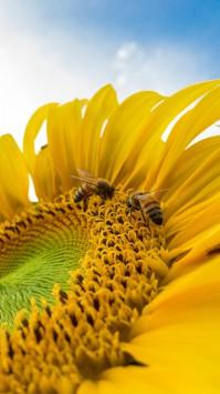 عکس زمینه زنبور عسل روی آفتابگردان زرد