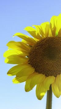 عکس زمینه گل آفتابگردان نصفه