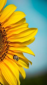 عکس زمینه گل آفتابگردان زرد