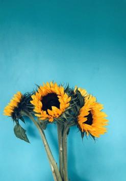 عکس زمینه چهار گل آفتابگردان با زمینه آبی