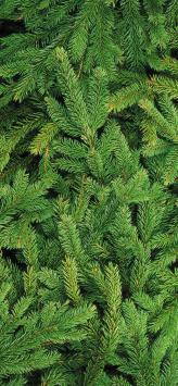 عکس زمینه برگ کاج سبز کریسمس