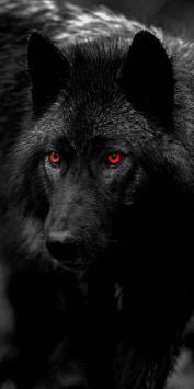 عکس زمینه گرگ چشم قرمز سیاه وحشی