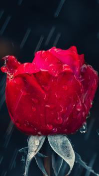 عکس زمینه رز قرمز بارون زده زیبا رمانتیک