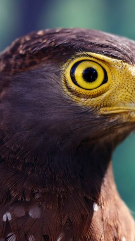 عکس زمینه چشمان زرد رنگ عقاب
