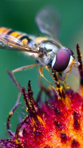 عکس زمینه گرده افشانی زنبور عسل