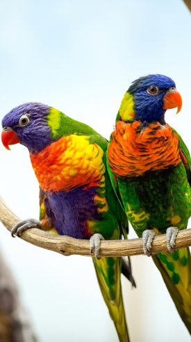 عکس زمینه طوطی های رنگارنگ بر روی شاخه
