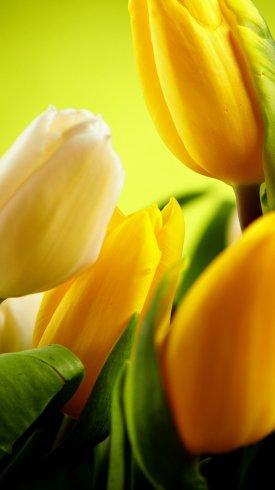 عکس زمینه گل های لاله زرد رنگ