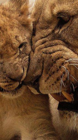 عکس زمینه توله شیرهای آفریقایی