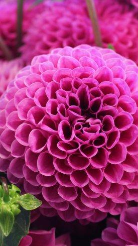 عکس زمینه گل دالیا صورتی رنگ