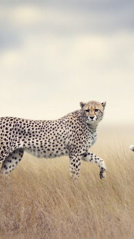 عکس زمینه یوزپلنگ وحشی در حال راه رفتن