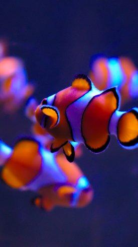 عکس زمینه ماهی آکواریوم سفید و قرمز زینتی