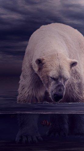 عکس زمینه خرس قطبی در حال شکار ماهی زیر آب