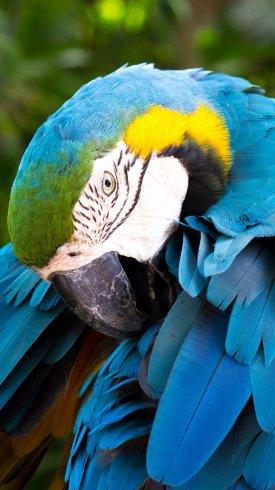عکس زمینه طوطی با پرهای آبی و زرد و سبز