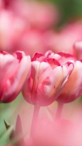 عکس زمینه گل های لاله صورتی در بهار