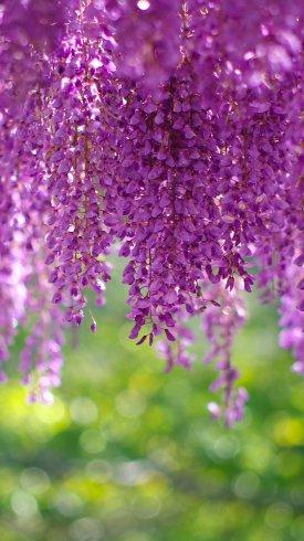 عکس زمینه گل های ویستریا بنفش رنگ