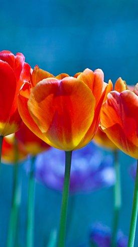 عکس زمینه گل های لاله نارنجی در زمینه آبی
