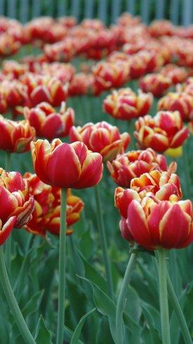 عکس زمینه باغ گل های لاله نارنجی و زرد