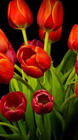 عکس زمینه گل های لاله های قرمز با ساقه سبز