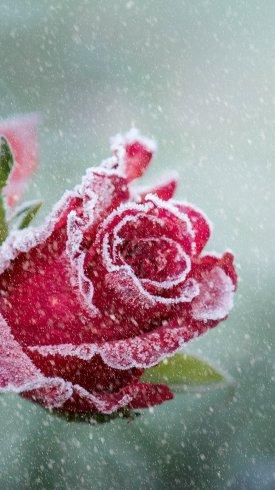 عکس زمینه گل سرخ برفی و یخ زده